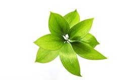 Hojas verdes Fotos de archivo libres de regalías