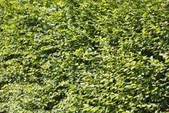 Hojas verdes Foto de archivo