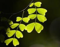 Hojas verdes aisladas del árbol Fotografía de archivo