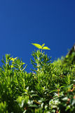 Hojas verdes bajo el cielo azul Foto de archivo libre de regalías