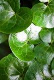 Hojas verdes brillantes del asarabacca (europaeum del Asarum) Imagen de archivo