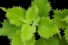 Hojas verdes claras de la planta Foto de archivo