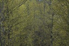 Hojas verdes claras de la primavera en ramas del abedul Imágenes de archivo libres de regalías