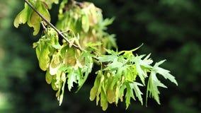 Hojas verdes claras de la primavera y semillas amarillas del arce de plata en el viento, 4K almacen de metraje de vídeo