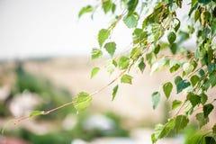 Hojas verdes claras del abedul Imagen de archivo libre de regalías