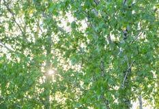 Hojas verdes claras del abedul Fotos de archivo libres de regalías