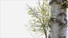 Hojas verdes claras del abedul en primavera almacen de metraje de vídeo