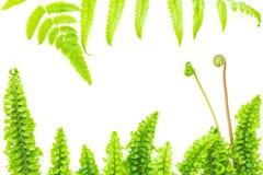 Hojas verdes claras delicadas del helecho Fotos de archivo