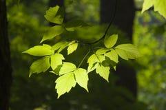 Hojas verdes claras en luz del sol Imagen de archivo libre de regalías