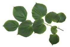 Hojas verdes claras en una rama, aislada en el fondo blanco Hojas del verano Ambiente, naturaleza, concepto de la ecología Fotografía de archivo