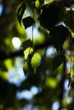 Hojas verdes colgantes del abedul con la luz y la sombra Fotografía de archivo