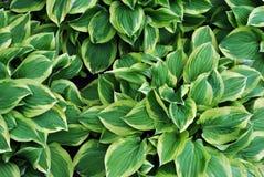 Hojas verdes con la raya blanca al borde de cada hoja, fondo orgánico natural de la planta imágenes de archivo libres de regalías