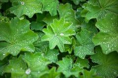 Hojas verdes de Astilboides Fotos de archivo libres de regalías