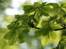 Hojas verdes de la castaña en luz hermosa Foto de archivo