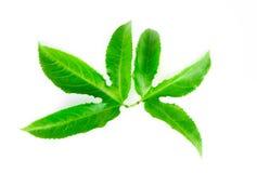 Hojas verdes de la fruta de la pasi?n aisladas en el fondo blanco fotos de archivo