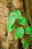 Hojas verdes de la hiedra en árbol de corteza seco Imagen de archivo