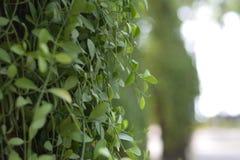 Hojas verdes de la hiedra en los árboles Imagen de archivo