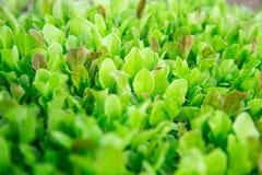 Hojas verdes de la lechuga Las hojas frescas, jovenes y blandas de la lechuga crecen en el jard?n Una alfombra verde s?lida Verde foto de archivo