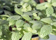 Hojas verdes de la nervio-planta con las venas blancas Imagenes de archivo