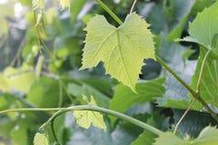 Hojas verdes de la uva Ninguna cosecha de la uva este año imagen de archivo libre de regalías