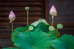 Hojas verdes de los brotes de flor del lirio de Lotus imagen de archivo libre de regalías
