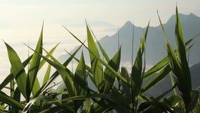 Hojas verdes de los campos que se mueven por el viento en pico de montaña y la niebla por la mañana metrajes