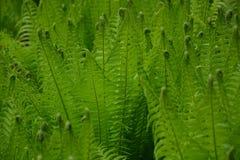Hojas verdes de los helechos perfectas para el fondo fotografía de archivo libre de regalías