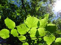 Hojas verdes de los jóvenes en el sol Foto de archivo