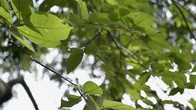Hojas verdes de un árbol que sopla por el viento almacen de video