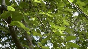 Hojas verdes de un árbol que sopla por el viento metrajes