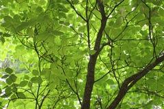 Hojas verdes del árbol Foto de archivo libre de regalías