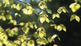 Hojas verdes del árbol de haya en rayos soleados almacen de video
