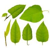 Hojas verdes del árbol de la colección Fotografía de archivo libre de regalías