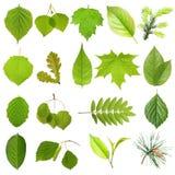 Hojas verdes del árbol de la colección. Fotografía de archivo