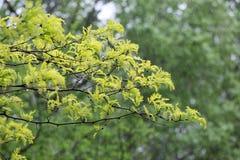 Hojas verdes del árbol de la primavera Fotografía de archivo