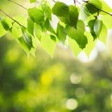 Hojas verdes del abedul Foto de archivo libre de regalías