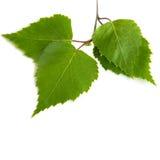Hojas verdes del abedul aisladas en blanco Imágenes de archivo libres de regalías