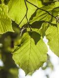 Hojas verdes del abedul en el árbol Fotografía de archivo