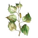 Hojas verdes del abedul Follaje floral del jardín botánico de la planta de la hoja Foto de archivo