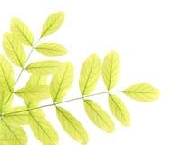 Hojas verdes del acacia Fotografía de archivo