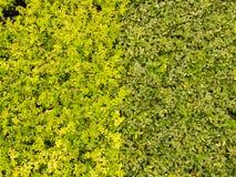 Hojas verdes del amarillo Imagen de archivo libre de regalías