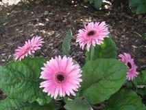 Hojas verdes del amoungst rosado bonito de los gerberas imagen de archivo