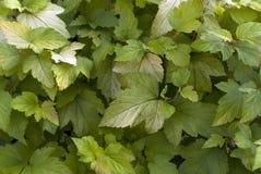 Hojas verdes del arbusto Foto de archivo libre de regalías