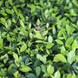 Hojas verdes del arbusto en el sol Foto de archivo