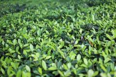 Hojas verdes del arbusto en el sol Fotografía de archivo libre de regalías