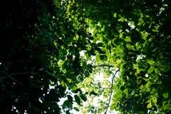 Hojas verdes del bosque de la cubierta del árbol el día soleado fotografía de archivo libre de regalías