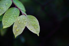 Hojas verdes del carambola con descensos del agua foto de archivo