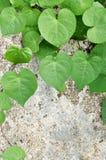Hojas verdes del corazón en viejo fondo del cemento Foto de archivo