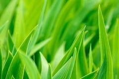 Hojas verdes del diafragma Fotos de archivo