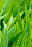 Hojas verdes del diafragma Fotos de archivo libres de regalías